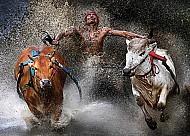 Độc đáo lễ hội đua bò tại Myanmar