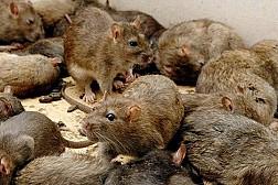 Diệt chuột được thưởng tiền tại Myanmar