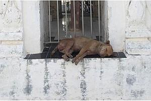 Kì lạ những chú chó ung dung trên đất Phật