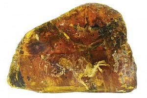 Phát hiện mẫu chim cổ đại trong hổ phách có tuổi thọ 100 triệu năm ở Myanmar