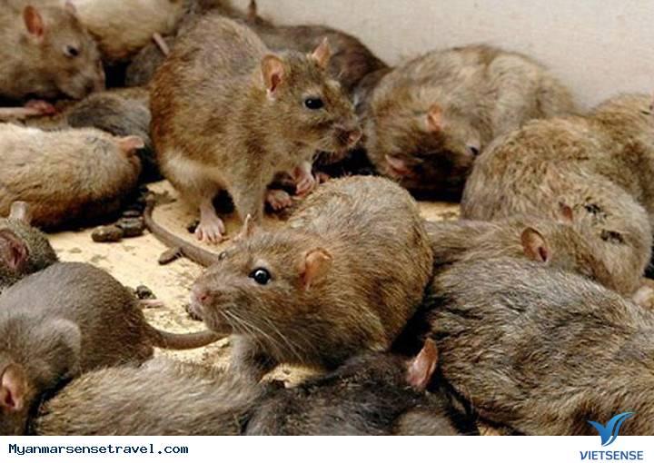 Diệt chuột được thưởng tiền tại Myanmar,diet chuot duoc thuong tien tai myanmar