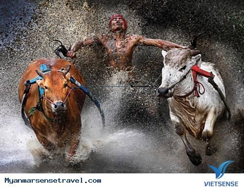 Độc đáo lễ hội đua bò tại Myanmar,doc dao le hoi dua bo tai myanmar